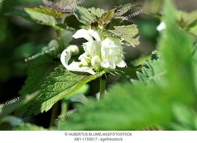 Lamium album, White Deadnettle, flowering plant, perennial herbaceous plant
