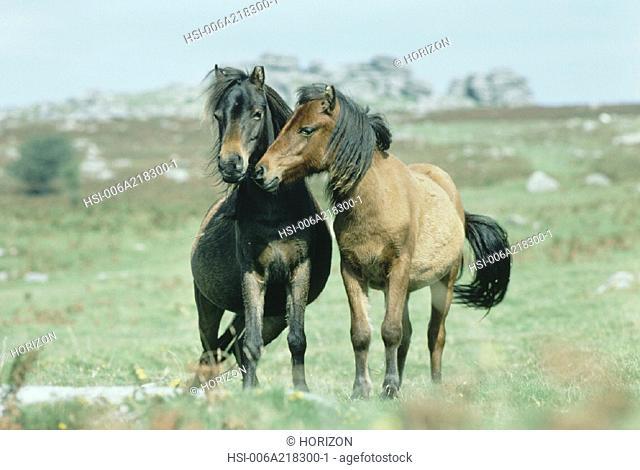 Horse, Herd, English moor, Animal companions