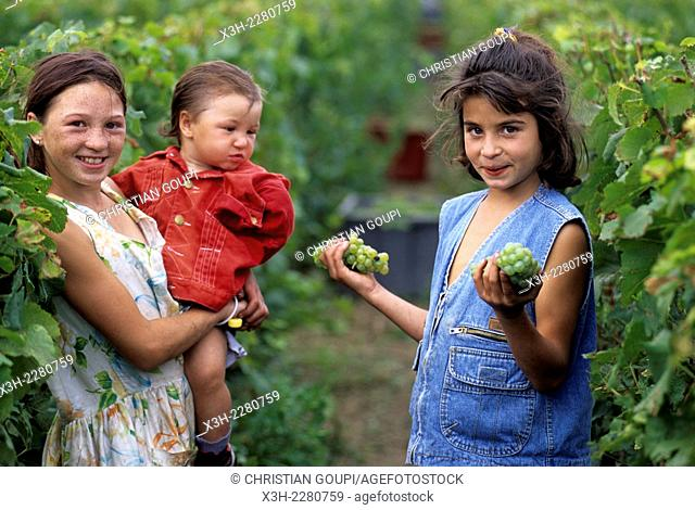 children in Champagne vineyards during grape harvesting, Marne department, Champagne-Ardenne region, France, Europe