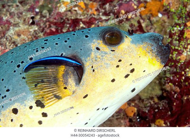 Blackspotted Puffer and Cleaner Wrasse, Arothron nigropunctatus, South Male Atoll, Maldives