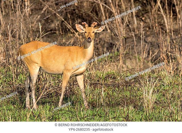 Eastern swamp deer (Rucervus duvauceli ranjitsinhi), male standing in grassland, endangered species, Kaziranga National Park, Assam, India