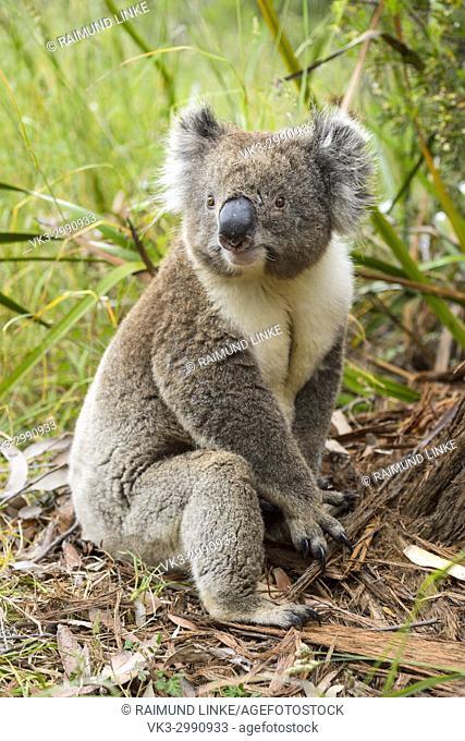 Koala, Phascolarctos cinereus, Sitting on Floor, Victoria, Australia