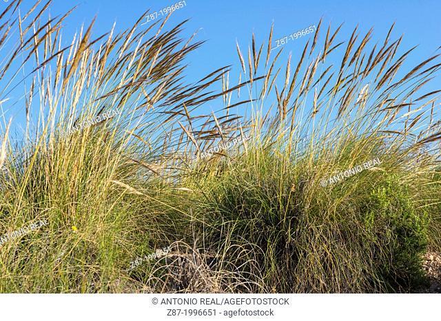 Esparto grass (Stipa tenacissima). Reservoir of Almansa, Albacete province, Castilla-La Mancha, Spain