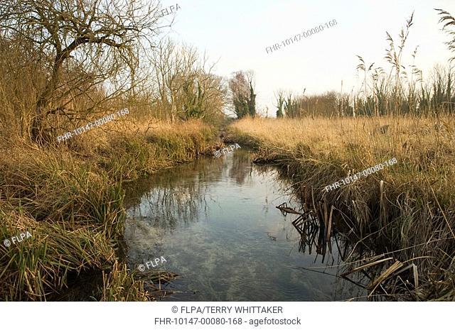 Eurasian Beaver Castor fiber trial reintroduction project, habitat with stream, Ham Fen Nature Reserve, Kent, England