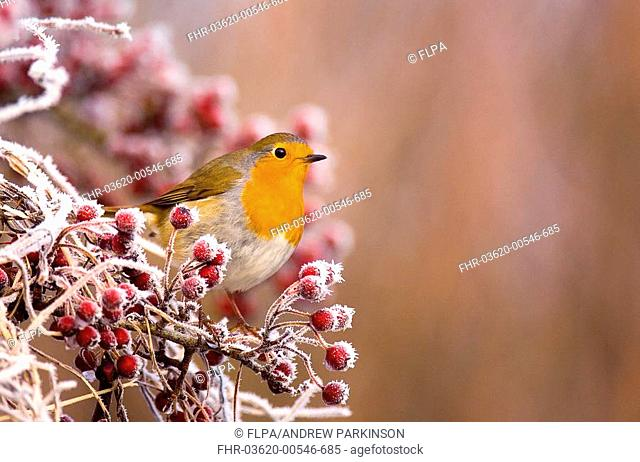European Robin Erithacus rubecula adult, perched amongst frost covered berries, Dumfries and Galloway, Scotland, december