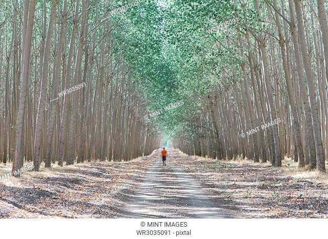 Man walking down tree lined dirt road, surrounded by commercially grown poplar trees