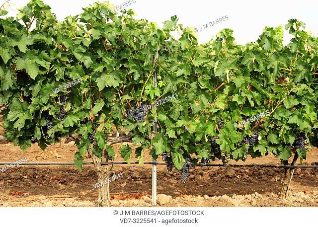Vineyard (Vitis vinifera) in Ribera del Duero, Valladolid province, Castilla-Leon, Spain