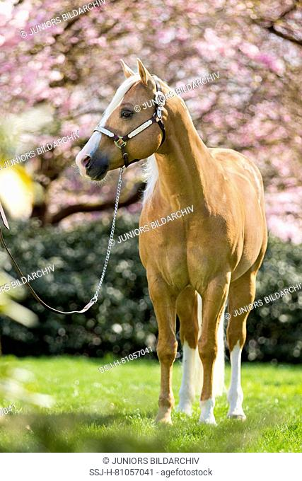 American Quarter Horse. Palomino stallion with western halter in spring in front of pink flowering trees. Netherlands