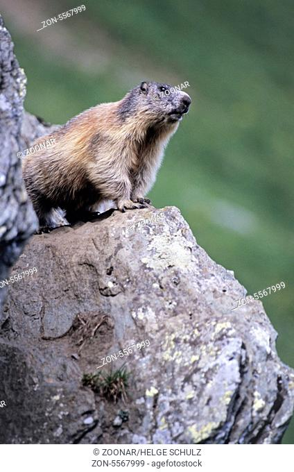 Alpine Marmot sitting alert on his sentinel