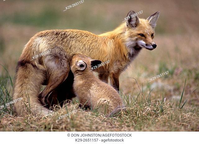 Red fox (Vulpes vulpes) Nursing kit, Killarney Provincial Park, Ontario, Canada