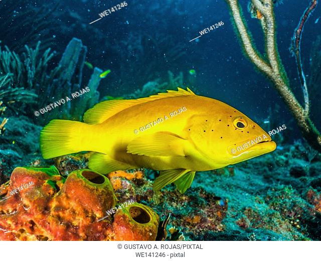 Coney Grouper, Cephalopholis fulva, , Los Roques, Venezuela.Los Roques, Venezuela phase coloration bright yellow with some blue spots