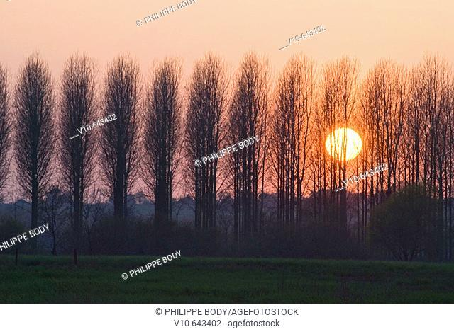 Poplar trees, typical tree from the Loire valley