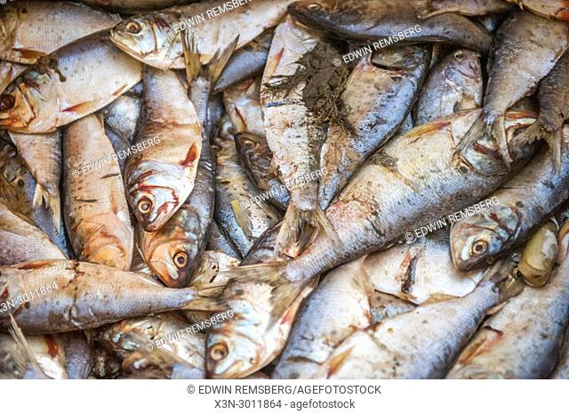 Full frame shot of a pile of menhaden fish that is being used as bait, Dundalk, Maryland. USA