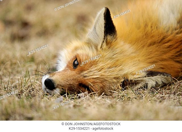 Red fox (Vulpes vulpes). Rubbing and rolling in the grass