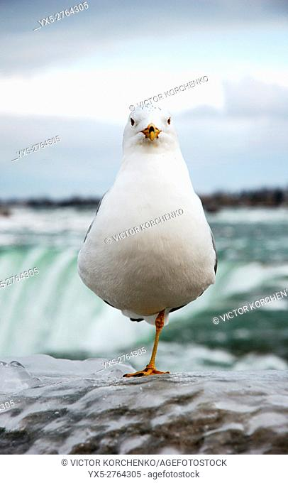 Seagull (Ring-billed Gull) standing on one leg frozen icy fence near Niagara Falls