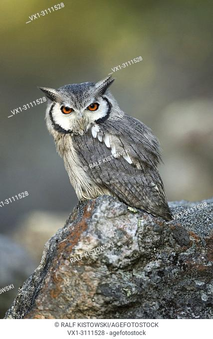 Southern White-faced Owl / Suedbuescheleule (Ptilopsis granti), sitting on a rock, looks serious.