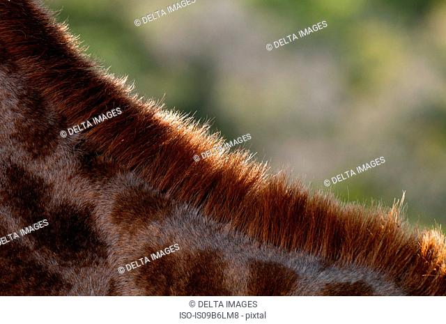 Details of giraffe's neck (Giraffa camelopardalis), Kariega Game Reserve, South Africa
