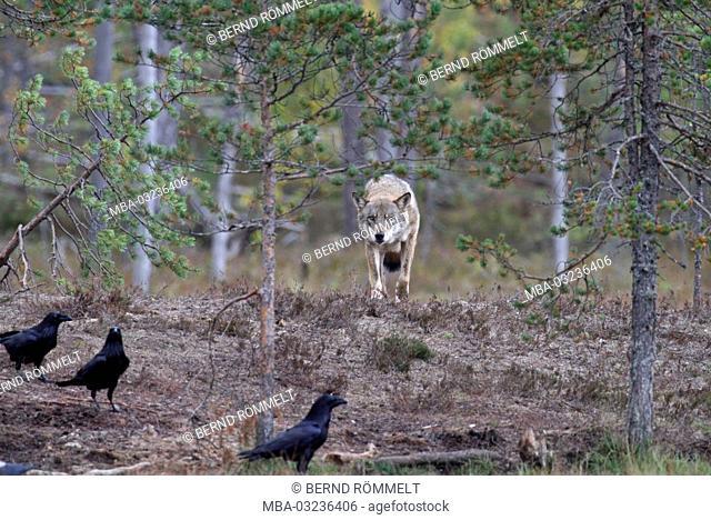 Europe, Finland, Vartius, European wolf, Canis lupus