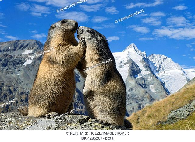 Alpine marmots (Marmota marmota), Grossglockner behind, Kaiser-Franz-Josefs-Höhe, High Tauern National Park, Carinthia, Austria