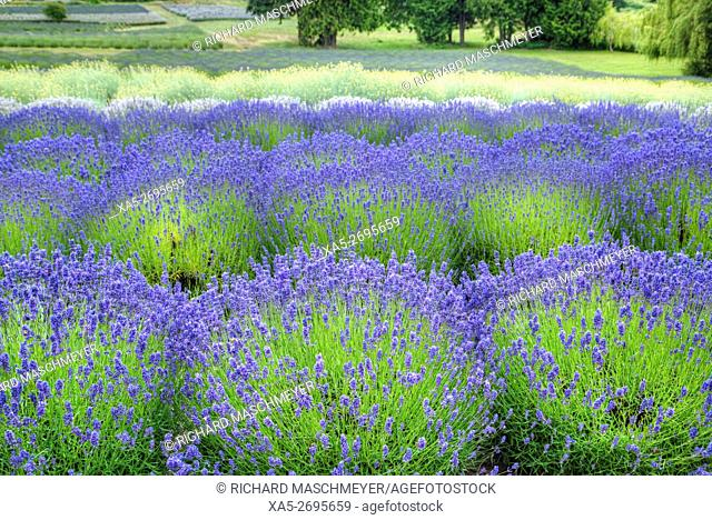 Growing Lavender, scientific name, Lavandula, Sequim, Olympic Peninsula, Washington State, USA