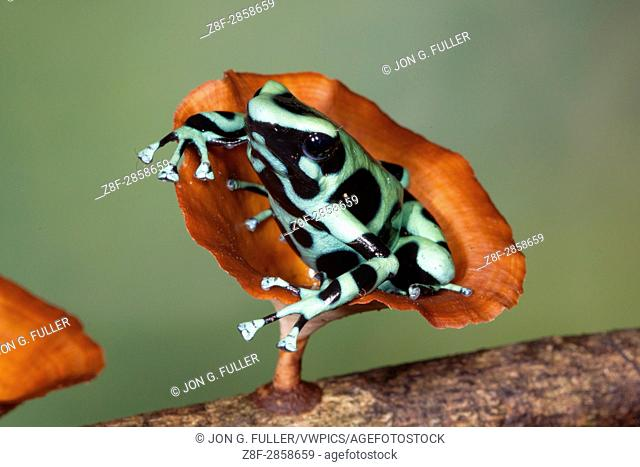 Green & Black Poison Dart Frog, Dendrobates auratus in Costa Rica. Its bright aposematic coloration warns predators that it is poison and serves as a defense