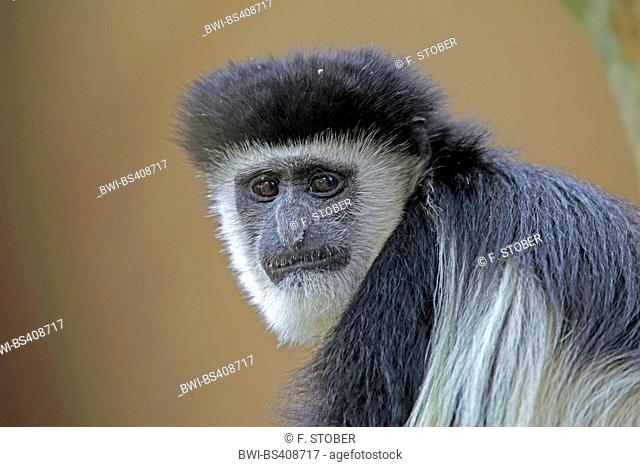 guereza, guereza colobus, eastern black-and-white colobus, mantled colobus, mantled guereza (Colobus guereza, Colobus abyssinicus)