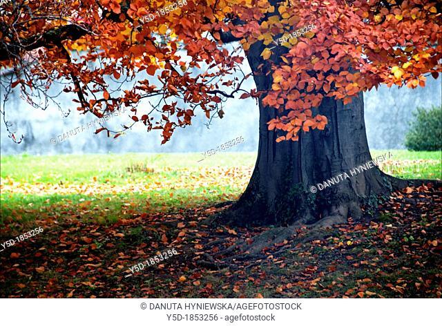 huge tree with red leaves, autumn scene, Ariana park, Geneva, Switzerland