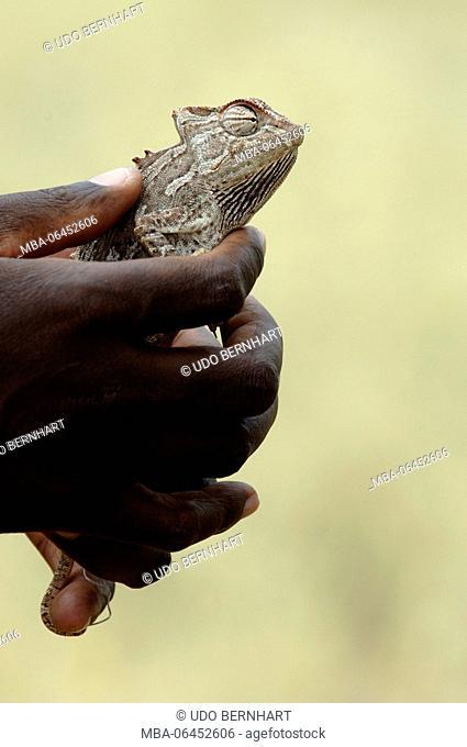 Africa, Namibia, NamibRand Nature Reserve, animals, wild saurian