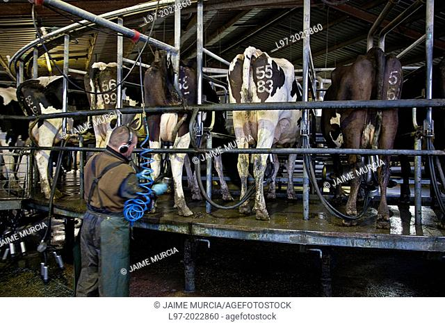 Holstein dairy cows being milked early morning, Victoria Australia