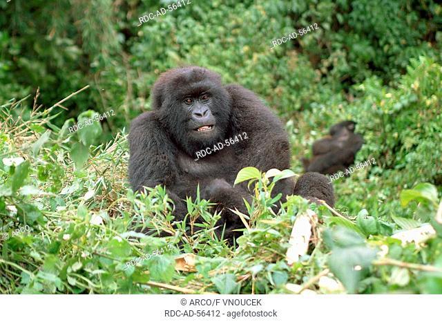 Young Mountain Gorilla Volcano national park Rwanda Gorilla gorilla beringei