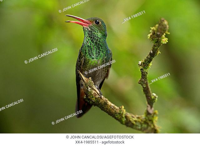 Rufous-tailed Hummingbird Amazilia tzacatl, Costa Rica