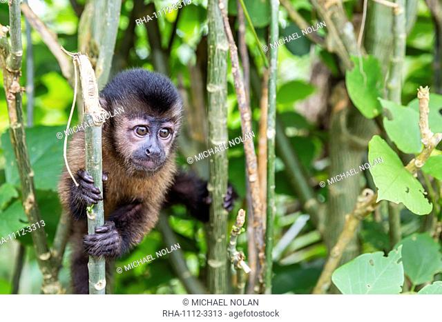 Captive pet tufted capuchin (Sapajus apella), San Francisco Village, Loreto, Peru, South America
