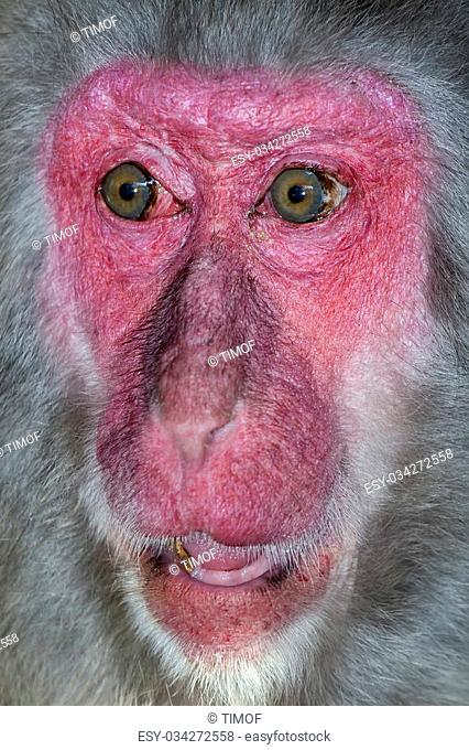 Picture of monkey face close-up with a surprise expression