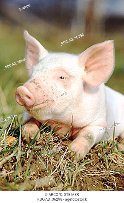 Domestic Pig piglet