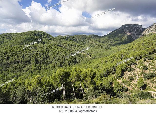 Pinar de Canet,Pinus halepensis, Moleta de Son Cabaspre, Esporles, sierra de Tramuntana, Mallorca, Balearic Islands, Spain