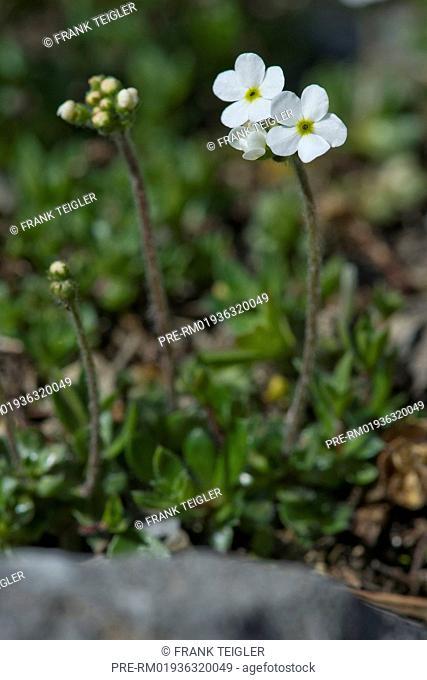 Sweetflower rock-jasmine, Androsace chamaejasme / Bewimperter Mannsschild, Androsace chamaejasme