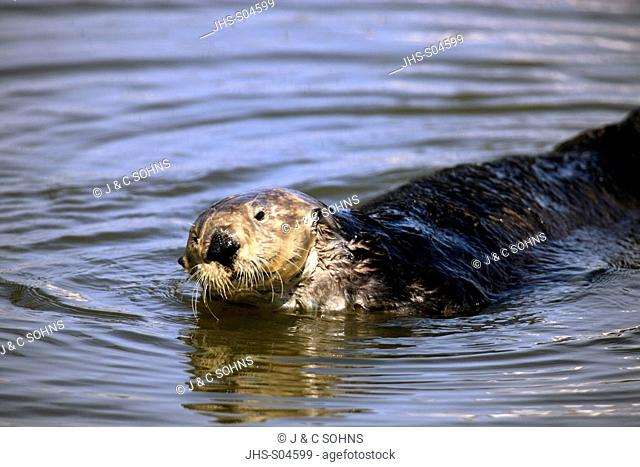 Sea Otter,Enhydra lutris,Monterey,California,USA,adult female in water