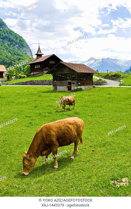 Cow, Ballenberg museum, Hofstetten, Switzerland