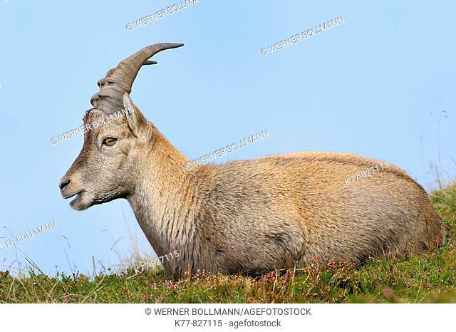 Alpine Ibex (Capra ibex), young male/buck. Niederhorn, Switzerland