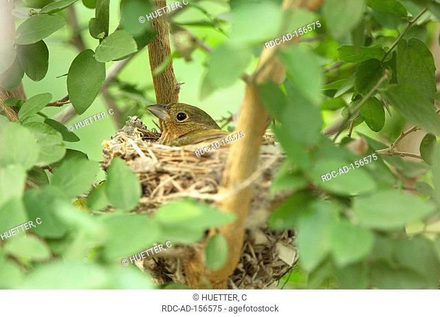 Painted Bunting female on nest Passerina ciris