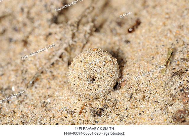 Antlion Euroleon nostras larval case constructed from sand, Holkham, North Norfolk, England, august