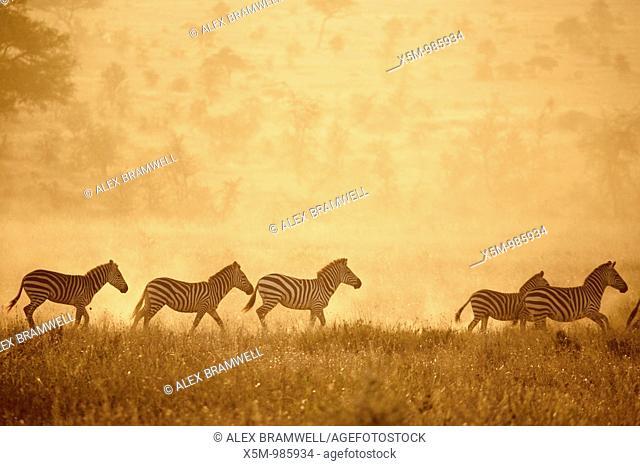Zebras crossing the Serengeti at sunset