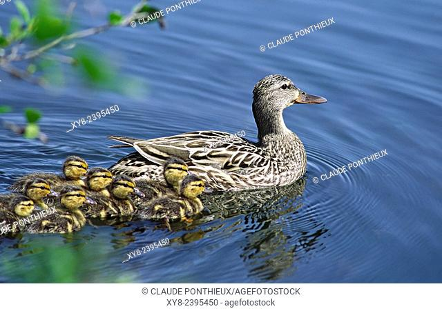 Mallard duck female with ducklings. Quebec, Canada