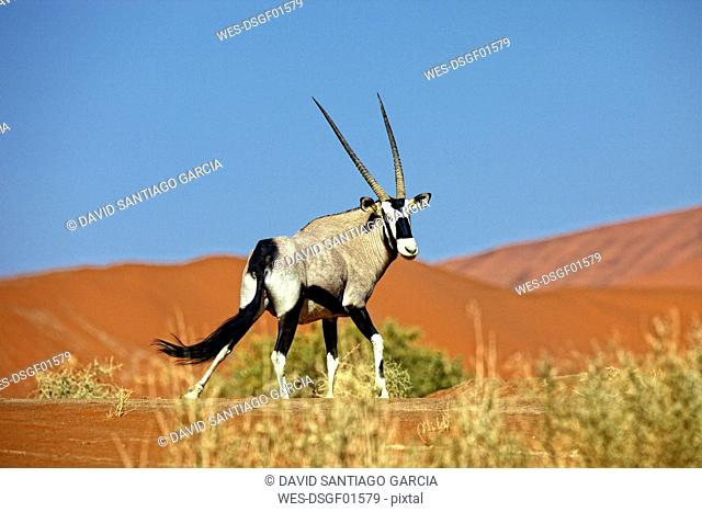 Namibia, Gemsbok in typical desert habitat