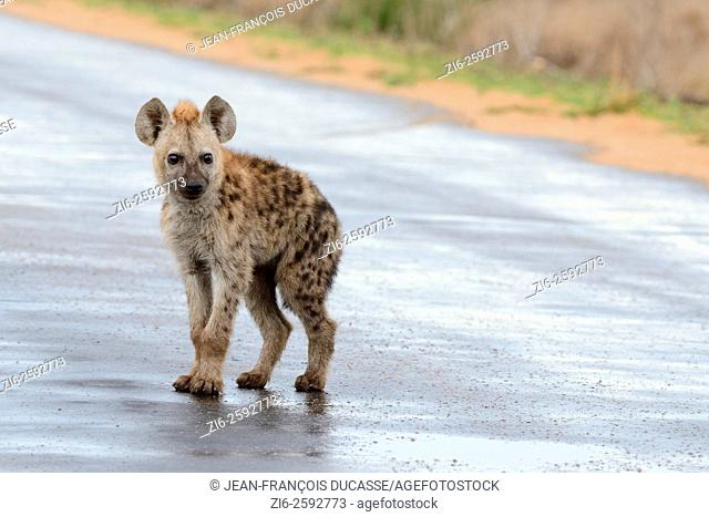 Spotted hyena (Crocuta crocuta), cub, standing on a wet road, after the rain, Kruger National Park, South Africa, Africa