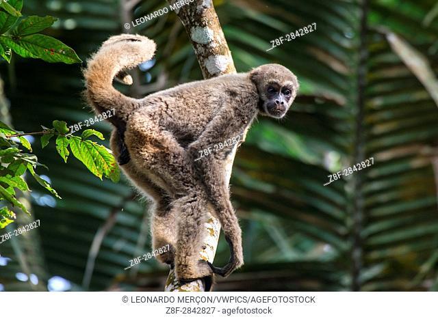 Young Northern muriqui (Brachyteles hypoxanthus) Critically Endangered of extinction, photographed in Santa Maria de Jetibá, Espírito Santo - Brazil