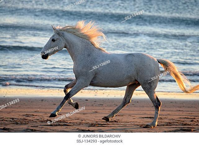 horse Lipizzan-Mix - galloping at the beach