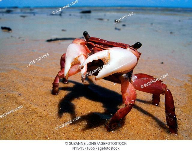 Little red intertidal crab, Fraser Island World Heritage Area, Queensland, Australia