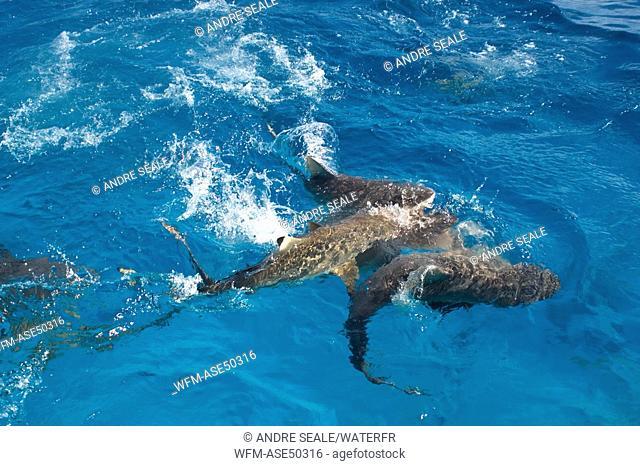 Gray reef sharks, swim near surface, Carcharhinus amblyrhynchos, Truk lagoon, Chuuk, Pacific, Micronesia