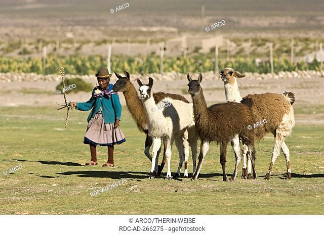 Bolivian woman herding Llamas, San Juan, Potosi, Bolivia / Lama glama / Llama